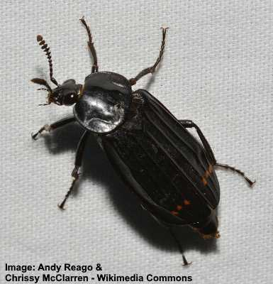 Black Beetles Identification With Pictures Of These Bugs
