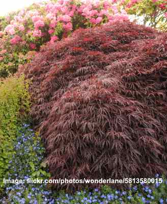 Small Or Dwarf Weeping Trees For Landscaping With Pictures